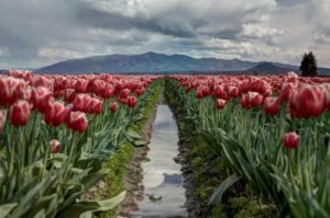 Truth tulips