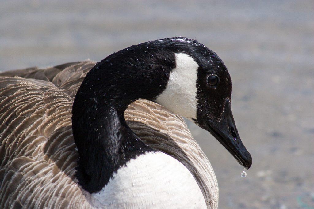 Canada goose Mayday